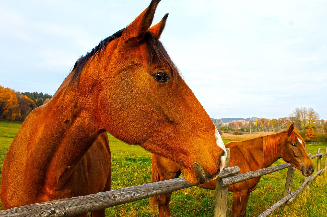chevaux-enlo